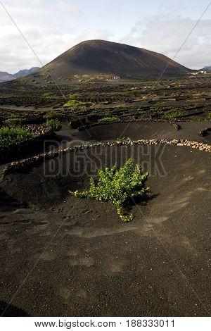 Wall   La Geria Vine Screw  Crops