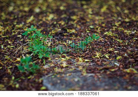 Wild little grass with dead leaf &dead tamarind flowers around