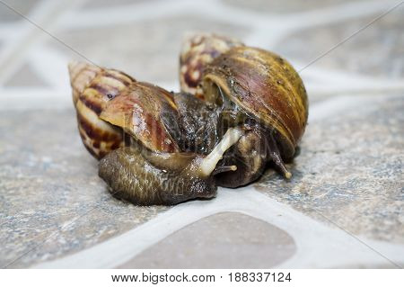 Closeup of Mating Couple of snails in the garden