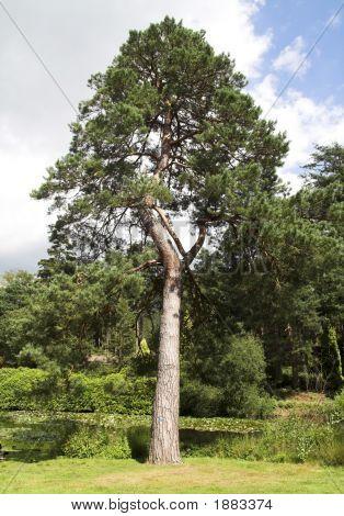 Bent Pine