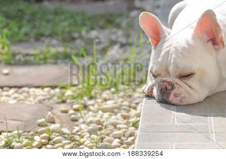 lie down French bulldog on the floorsleeping dog