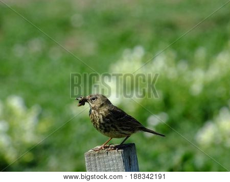 Meadow pipit taking back food for hungry young ones