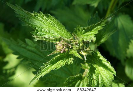 Young shoots of stinging nettle Urtica urens in forest in spring day