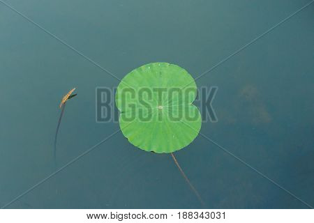 details of green lotus leaves over water.