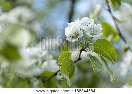 branch with white cherry flowers flowering fruit tree the plant