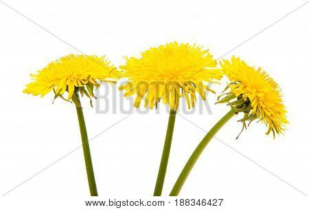 Dandelion yellow, flower on a white background