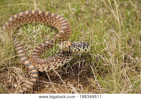 A bull snake takes a defensive position while sampling the air with its tongue.