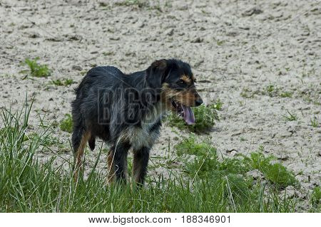 Thoroughbred dog on the nature guard country house in Plana mountain, Bulgaria