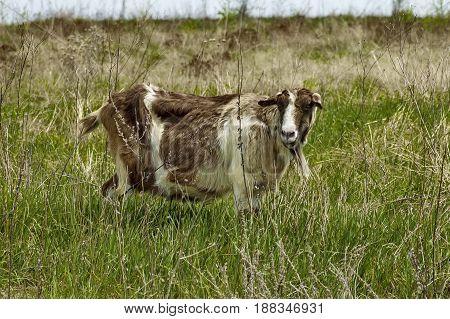 Portrait of coloured goat on the mountain  meadow, mountain Plana, Bulgaria