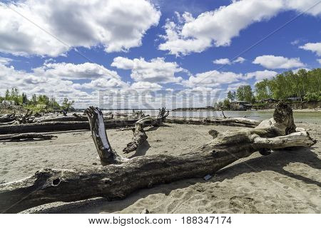 Spring landscape. River bank. Scattered snags of old trees. Russia, Siberia, the Novosibirsk Region