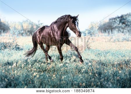 Black horse with white line on face runs on a green field on clouds background
