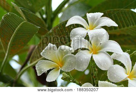White Yellow Frangipani Flowers on a Branch