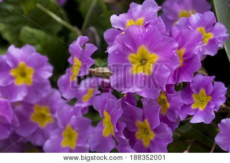 many spring flowers with a yellow core primrose petals