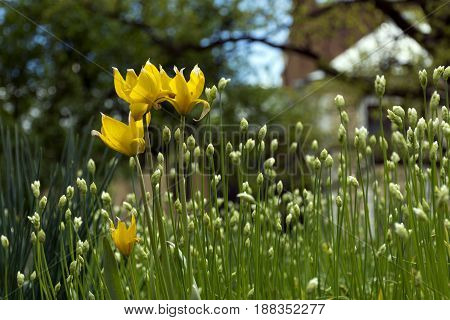 forest yellow tulips flower buds green stems and leaves flowerbed