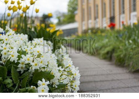 flowerbed with spring flowers primroses Primula tulips path
