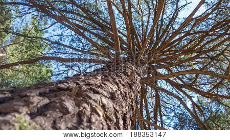 The trunk of pine tree in the forest looking up to the crown and sky