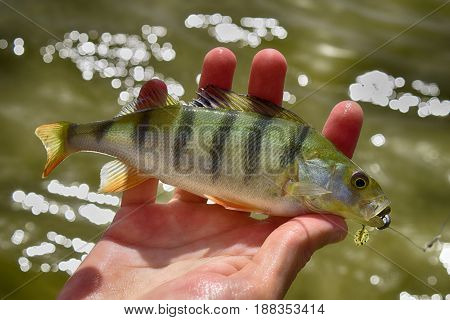 Fisherman holding caught perch (bass) on Siberian Ob river background. Lure in fish mouth.