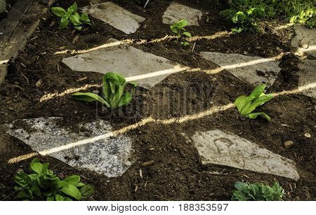 To help tend a garden, flat stepping stones are placed among newly planted seedlings.