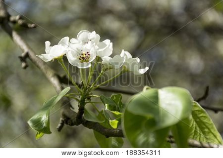flowers with white petals on a branch of the cherry blossoms