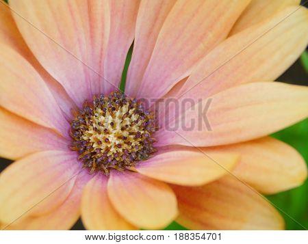 Macro photo of a beautiful peach coloured osteospermum