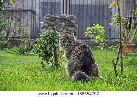 The photo shows an adult cat in the garden. The cat has a long, gray coat and a fluffy tail. It is located on the lawn. It is sunny day.
