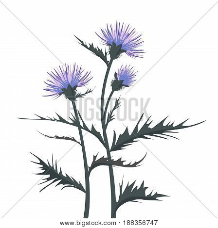 Vector Illustration thistle with leaves on a white background