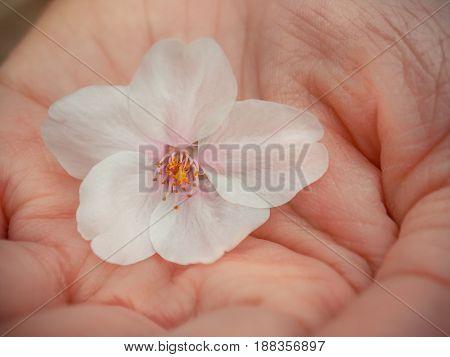 Little Beautiful Sakura Flowers in hand, Selective Focus