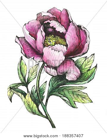 The branch flowering pink peony (peonies, paeony, paeonia), isolated on white background. Hand drawn graphic and watercolor painting illustration.