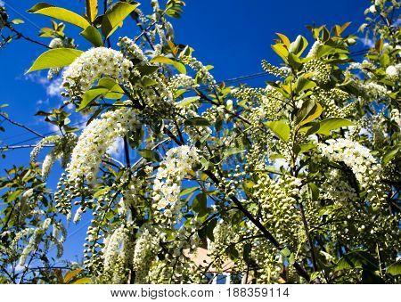 the earliest flowers of bird cherry tree macro