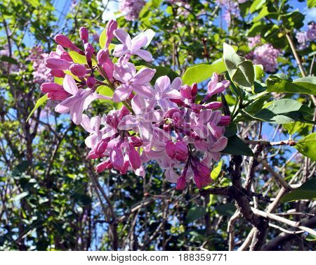 fresh lilacs on the nature in early morning