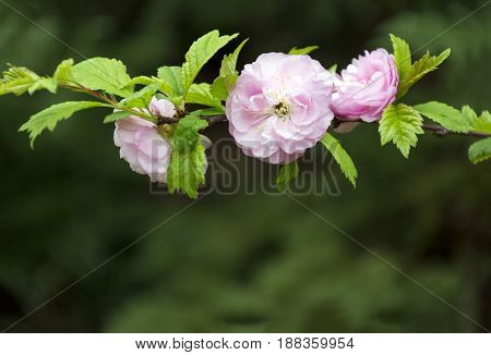 branch with flowers and pink petals green leaves on green background