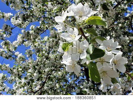Apple blossoms closeup in the early morning