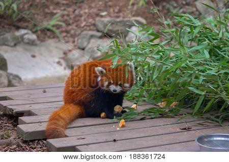 Red panda closeup photo in China outdoors