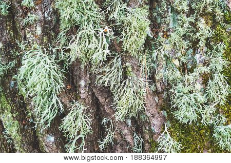 Long Moss Close-up On A Tree In Damp Forest.
