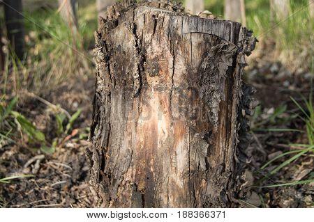 dark old rotten tree stump in the forest garden.