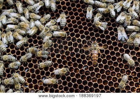 Queen bees in honeycombs lays eggs. Apiculture