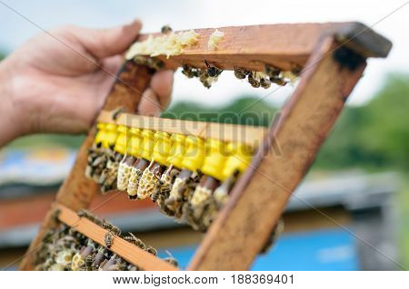The beekeeper inspects a frame which raised new queen bees. Karl Jenter. Apiculture