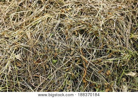 Background of dry grass. Mowed dry grass interspersed with scattered green grass.