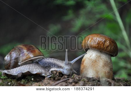 Big snail and cap mushroom in forest. Boletus edulis mushroom and snail on rain in woods