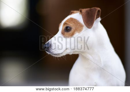 Dog Jack Russell Terrier is a very lively cheerful and good-natured breed.