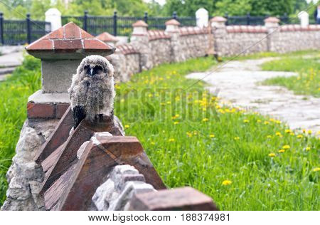Little angry owl sitting on the fence. Just flying out of the nest, the owl looks angry at the tourists in Ryazan