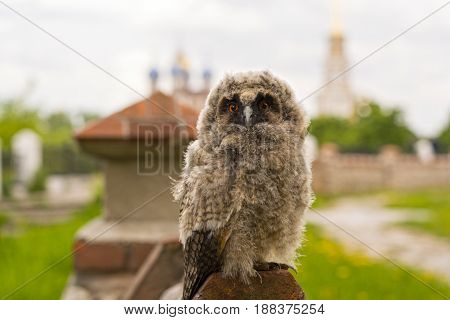Small owl on the church wall in the background of the Ryazan Kremlin