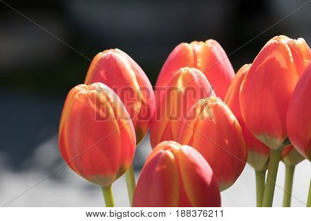 Tulips red orange upright with vibrant colors