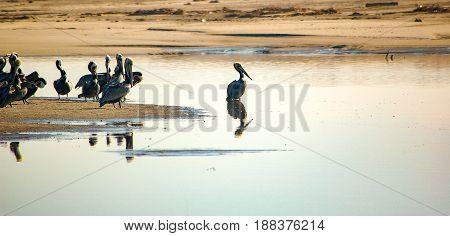 Group of pelicans at bird sanctuary in Ventura CA