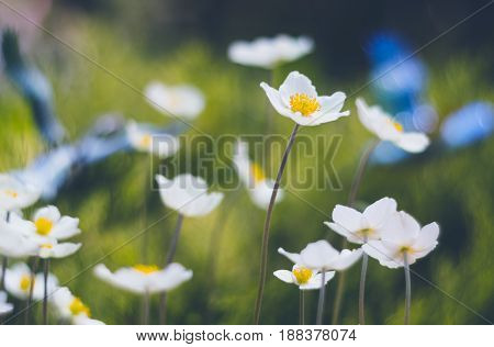Lovely anemone flowers on a beautiful background with a soft focus. Selective focus