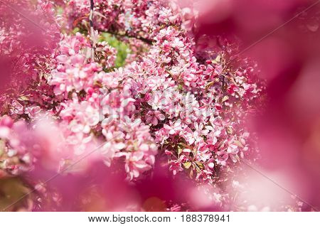 beautiful Pink flowers blossoming apple tree background