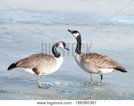 Canadian geese on ice of Oakbank Pond in Thornhill Canada March 16 2010