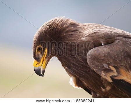 Portrait of steppe eagle - Aquila nipalensis
