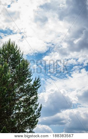 Background big beautiful pine on a background of the sky and clouds on the whole frame