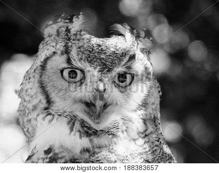close up portrait of a long eared owl